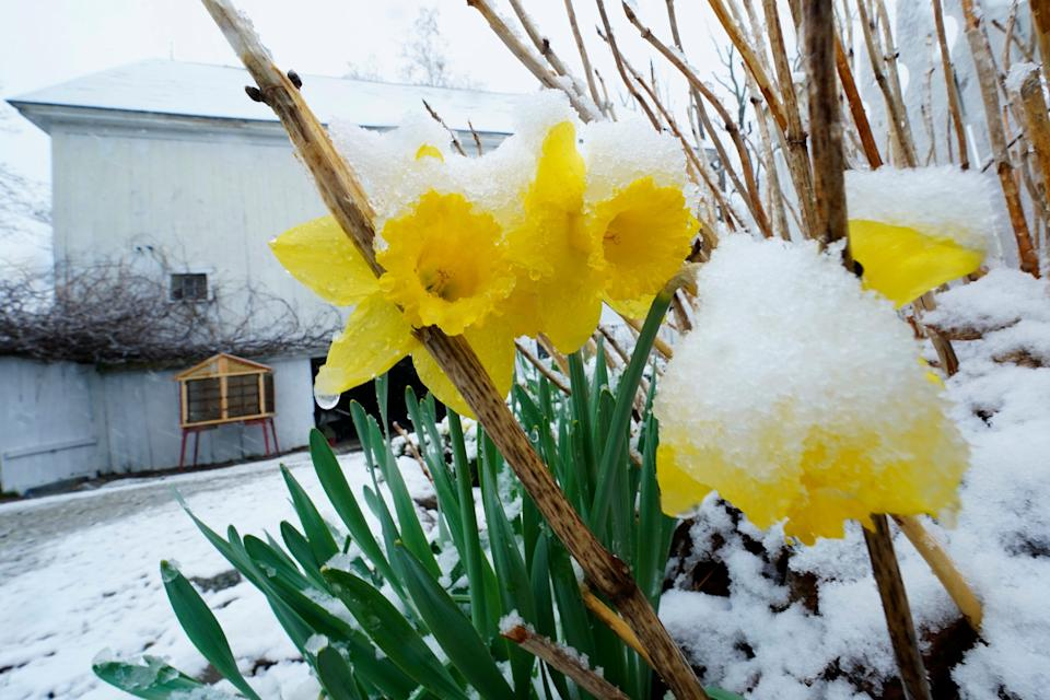 Snow covers daffodils during a spring storm, Friday, April 16, 2021, in in East Derry, New Hampshire. Some portions of New England received about a half a foot of snow from the storm.