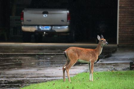 A deer stands in the driveway of a house as it escapes high flooding water from the San Jacinto River following Hurricane Harvey in Conroe, Texas