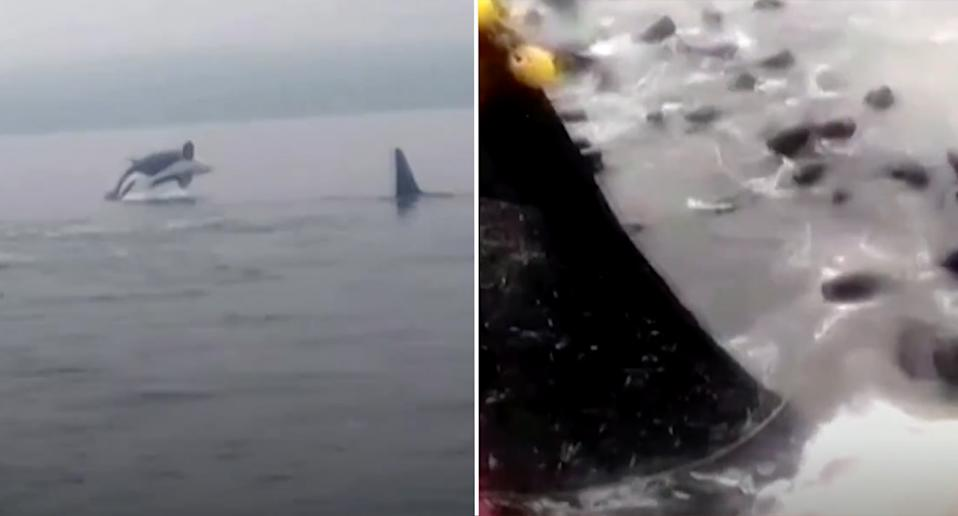 Footage showing sea lions trying to evade the orcas in Chile.