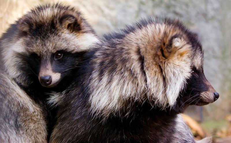 Two male raccoon dogs. The raccoon dog is a small species of canine, native to parts of eastern Asia. As it's name suggests, this wild dog has markings that closely resemble those of a raccoon and has also been known to display similar behaviours including the washing of food.