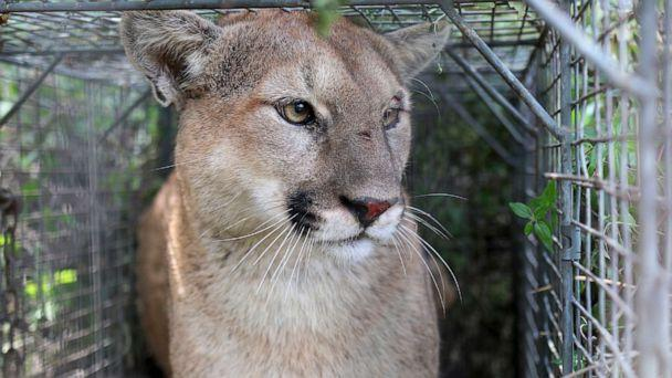 PHOTO: This April 7, 2017, photo released by the National Park Service shows P-56, a young male mountain lion that roams the western end of the Santa Monica Mountains in Southern California. (National Park Service via AP)