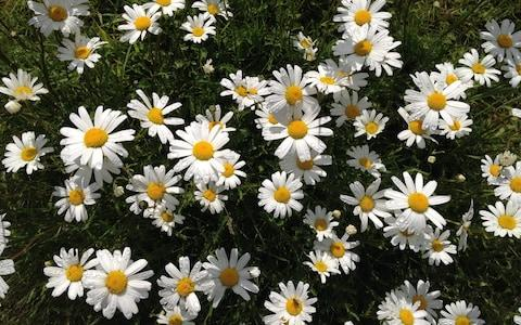 Oxeye daisies are natural and colourful - Credit: Trevor Dines/Plantlife
