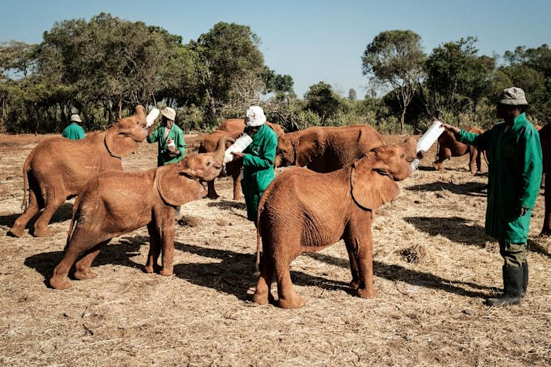 The baby elephants keenly await feeding time -- a special nutrient-rich mix administered by keepers (AFP Photo/Yasuyoshi CHIBA)