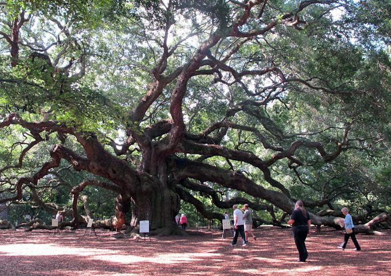 Visitors flock to the Angel Oak on Johns Island near Charleston, S.C., on Friday, Sept. 20, 2013. The tree, a landmark in the South Carolina Lowcountry, is thought to be as many as 500 years old. The Lowcountry Open Land Trust is spearheading an effort to protect 17 acres around the small park where the tree stands to provide protection from development. (AP Photo/Bruce Smith)