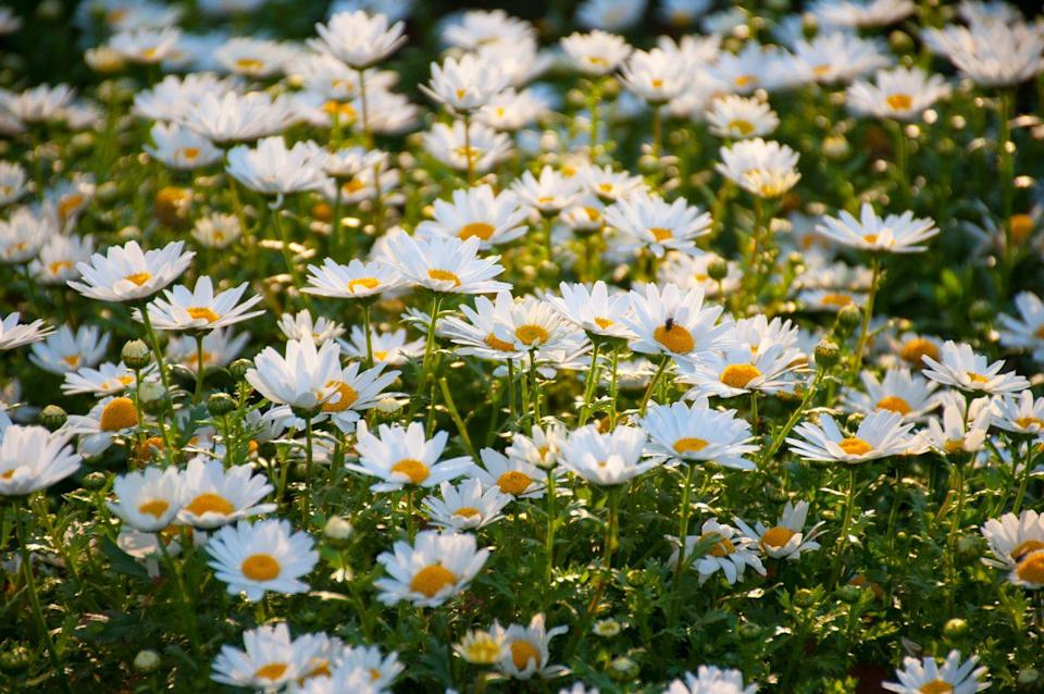 """<p>There are a bunch of varieties of daises, but sticking with the classic Gerber Daisy variety means you can produce tons of different colored blooms. </p><p><a class=""""link rapid-noclick-resp"""" href=""""https://www.amazon.com/gp/slredirect/picassoRedirect.html/ref=pa_sp_atf_aps_sr_pg1_1?ie=UTF8&adId=AWD9VPN0MGPQ5&url=%2FOutsidepride-Gerbera-Daisy-Flower-Plant%2Fdp%2FB004I0GYBM%2Fref%3Dsr_1_1_sspa%3Fdchild%3D1%26keywords%3Dgerber%2Bdaisy%2Bseeds%26qid%3D1620327219%26sr%3D8-1-spons%26psc%3D1&qualifier=1620327219&id=4982479782577206&widgetName=sp_atf&tag=syn-yahoo-20&ascsubtag=%5Bartid%7C10070.g.36355297%5Bsrc%7Cyahoo-us"""" rel=""""nofollow noopener"""" target=""""_blank"""" data-ylk=""""slk:Buy daisy seeds."""">Buy daisy seeds. </a></p>"""