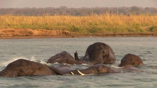 Elephants spend time submerging their bodies in water. Going for cool-down swims is a common strategy animals use to cool off in some of the hottest parts of the world. (Submitted by Brian Keating - image credit)