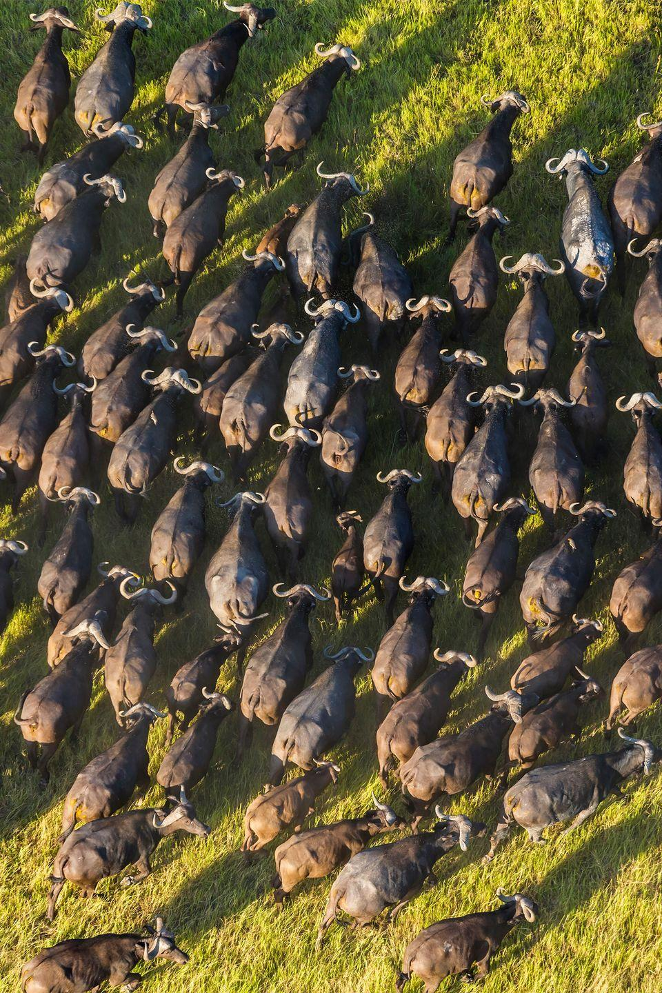 <p>Researchers have noted that African buffalo herds practice voting. The process only involves adult females, and it all takes place with physical cues. It happens when individual buffaloes register their travel preferences by standing up, looking in one direction, and then lying back down.</p>