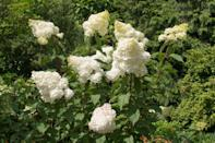 """<p>Unusually shaped blooms make the """"Pinky Winky"""" hydrangea a stand-out. In mid-summer, the flowers begin to blossom with white florets, adds Mast. The florets at the base turn a bright pink as they age, giving the existing blooms a two-tone effect, one that perpetuates into the fall. This variety prefers full or partial sun and, unlike many other options, doesn't require extensive watering. Native to China and Japan, this variety can survive in <a href=""""https://www.marthastewart.com/1538487/understanding-your-plant-hardiness-zone"""" rel=""""nofollow noopener"""" target=""""_blank"""" data-ylk=""""slk:USDA Hardiness Zones"""" class=""""link rapid-noclick-resp"""">USDA Hardiness Zones</a> three through nine.</p>"""