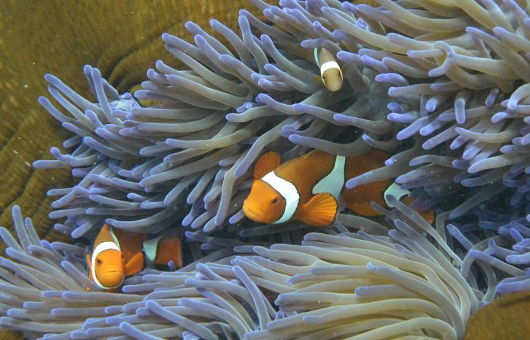 Australia has downgraded the reef's long-term outlook to 'very poor' (AFP Photo/WILLIAM WEST)