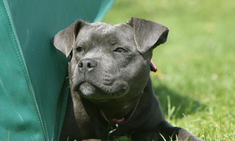A Staffordshire bull terrier.