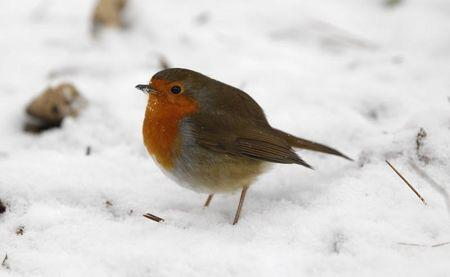 A Robin stands in the snow in Bramall Park in Manchester