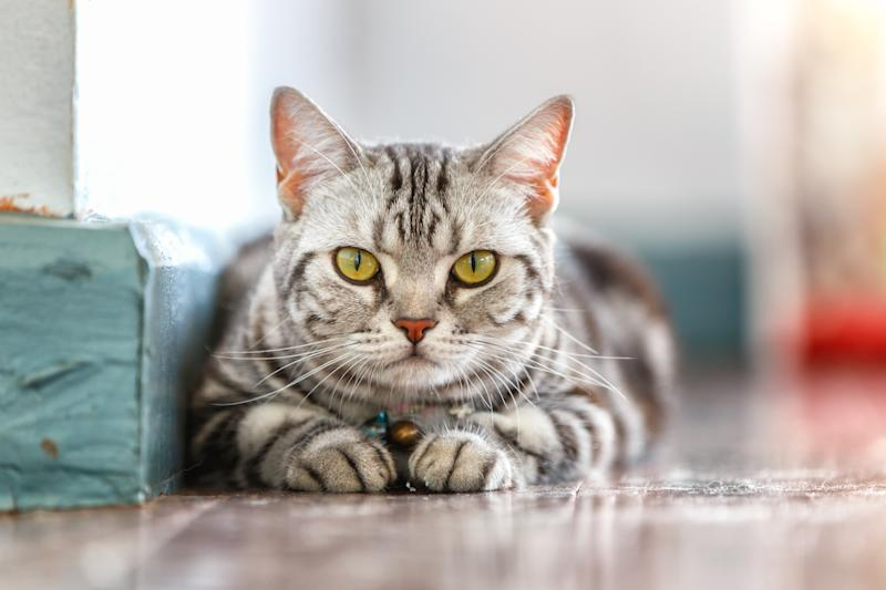 Close up of an American short hair cat in the house. The owners of a Gold Coast cat claim he was sexually assaulted and suffered internal injuries.