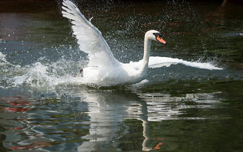 36 swans are being sold in a lottery - Geoff Pugh
