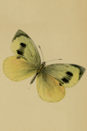 <p>The stunning Madeiran Large White butterfly was found in the valleys of the Laurisilva forests on Portugal's Madeira Islands. The butterfly's closest relative, the Large White, is common across Europe, Africa and Asia. </p><p><strong> Cause of Extinction:</strong> loss of habitat due to construction as well as pollution from agricultural fertilizers are two major causes of the species' decline. While it hasn't been officially declared extinct, the butterfly hasn't been seen for decades.</p>