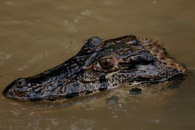 <p>An alligator, part of the jaguars' diet, surfaces at the Mamiraua Sustainable Development Reserve in Uarini, Amazonas state, Brazil, Feb. 11, 2018. (Photo: Bruno Kelly/Reuters) </p>