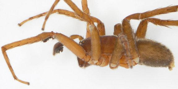 Tiny Wandering Spider Discovered in Laos