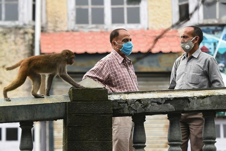 Authorities have struggled to control the monkeys, who have become increasingly aggressive in their hunt for food