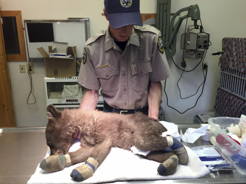 In this June 27, 2018, file photo provided by Colorado Parks and Wildlife, Michael Sirochman, a veterinary technician for Colorado Parks and Wildlife, treats a bear cub whose paws were burned in a Colorado wildfire. The orphaned bear cub burned by a Colorado wildfire has been released back into the wild. The Durango Herald reports that the cub was placed in the mountains west of Durango on Friday, Jan. 25, 2019, asleep inside a man-made den along with a second orphaned cub. (Joe Lewandowski/ Colorado Parks and Wildlife via AP, File)