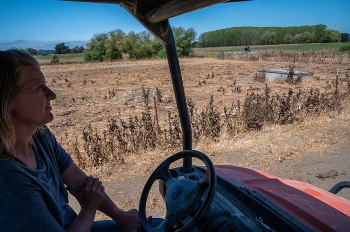 Dairy farmer Jennifer Beretta drives past her pastures, normally green but shriveled in the drought, on July 15 in Santa Rosa. The conditions have driven up the cost of feed and made milking cows unprofitable.