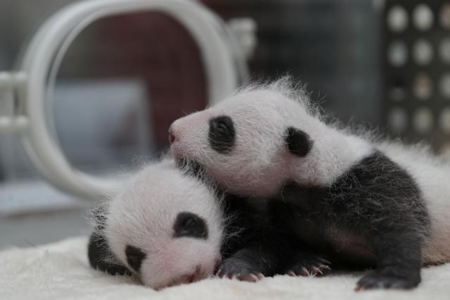 <p>Twin panda cubs, born on April 24 in captivity, are pictured in an incubator at Chengdu Research Base of Giant Panda Breeding in Sichuan province, China May 23, 2017. (Photo: China Daily/Reuters) </p>