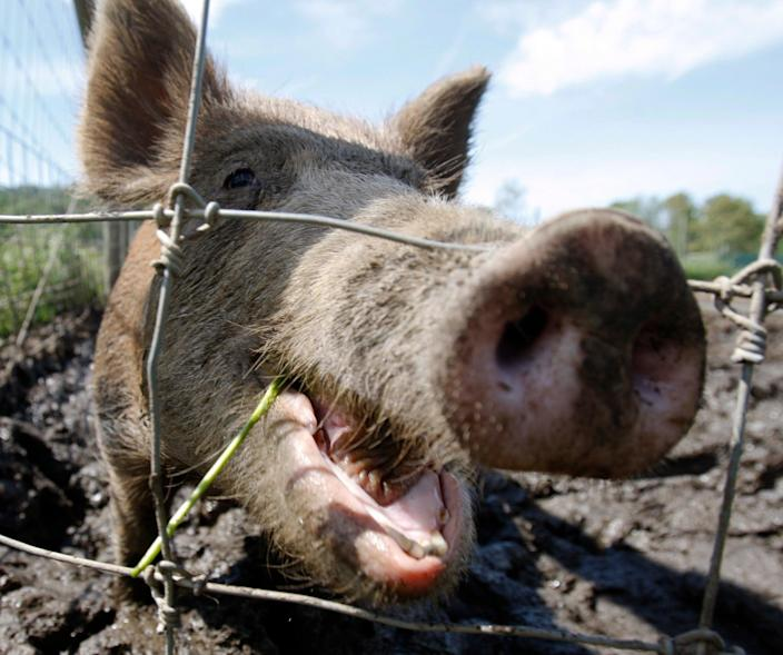 Feral hogs can host more than 30 viral and bacterial diseases as well as scores of parasites  (AP)