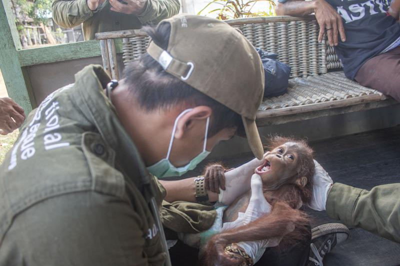 The baby orangutan, 'Aben' by his rescuers, with male vet Adisa. These heart melting images show the moment a baby orangutan, separated from its mother, was recovered by conservationists in Limpang, a village in Jelai Hulu District, Borneo, Indonesia. See SWNS story SWOCrescue. This is the touching moment a baby orangutan separated from its mother is rescued by villagers in one of the remotest places on earth. Video shows the frightened baby ape holding tightly onto conservationists who comfort him, after stumbling upon a tiny village in Indonesia. Named 'Aben' by his rescuers, the orangutan - less than a year old - looks around with large beady eyes as he is kept warm and tested for contagious diseases. According to welfare group International Animal Rescue (IAR), Aben was found in Limpang, a village in Jelai Hulu District, earlier this month.