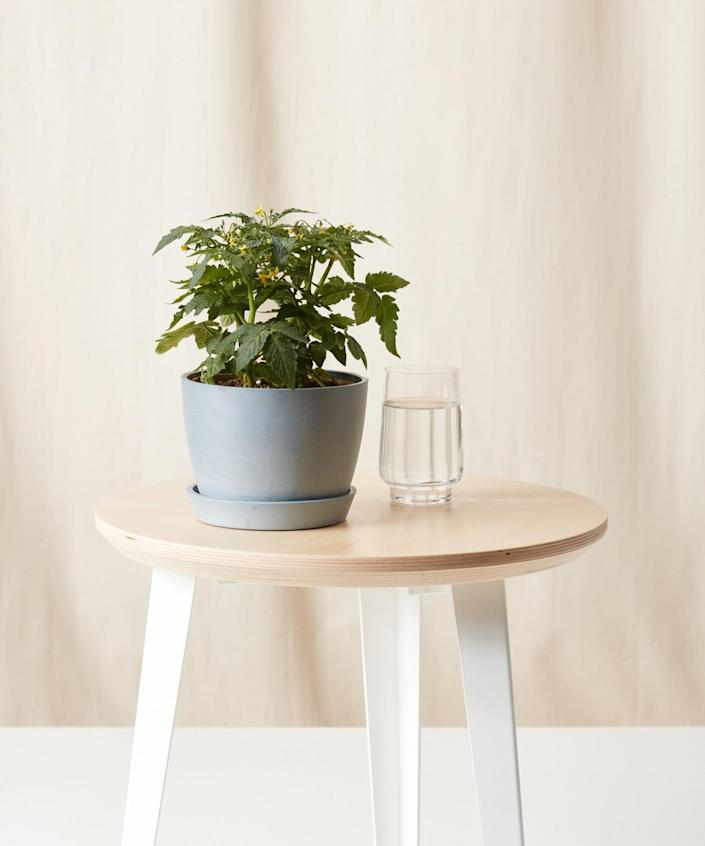 The micro tomato plant is designed to grow indoors.