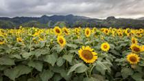 """<p>If you find yourself on a dreamy Hawaiian vacation, be sure to check out this <a href=""""https://www.hawaii.com/oahu/attractions/sunflowers/"""" rel=""""nofollow noopener"""" target=""""_blank"""" data-ylk=""""slk:DuPont Pioneer's Waialua Sunflower Farm"""" class=""""link rapid-noclick-resp"""">DuPont Pioneer's Waialua Sunflower Farm</a>, a free attraction located on the North shore of Oahu, Hawaii. With several parking lots right next to the 20-acre field, this is a fun place to stop by and visit in November when the flowers peak. Parking will cost you $5, but you can feel good knowing all the money is donated to local schools. </p><p><a class=""""link rapid-noclick-resp"""" href=""""https://go.redirectingat.com?id=74968X1596630&url=https%3A%2F%2Fwww.tripadvisor.com%2FTourism-g29222-Oahu_Hawaii-Vacations.html&sref=https%3A%2F%2Fwww.countryliving.com%2Flife%2Ftravel%2Fg21937858%2Fsunflower-fields-near-me%2F"""" rel=""""nofollow noopener"""" target=""""_blank"""" data-ylk=""""slk:PLAN YOUR TRIP"""">PLAN YOUR TRIP</a></p>"""