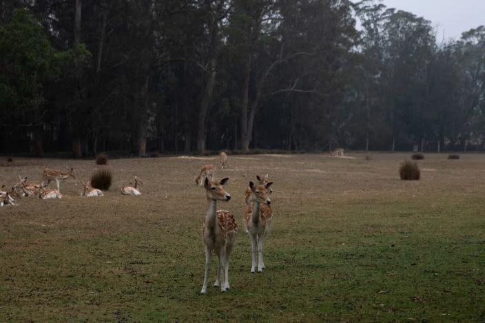 Deer are seen at the Mogo Zoo in Australia