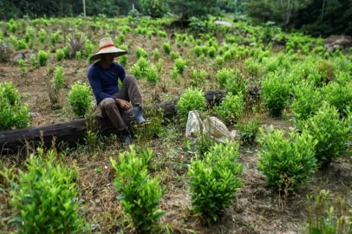 A Colombian farm for coca, the leaves used to make cocaine