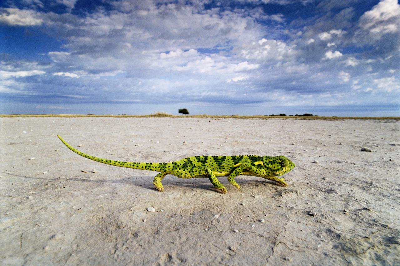 """A seemingly unlikely sight as it crosses a salt pan, this Flap-necked Chameleon (Chamaeleo dilepis) is probably searching for new feeding grounds or possibly a mate. Progress across open ground is slow and fraught with danger as predators are on the lookout for easy pickings. Image courtesy of <a href=""""http://www.amazon.com/Desert-James-Parry/dp/1847329144/ref=sr_1_3?s=books&ie=UTF8&qid=1317233972&sr=1-3"""">""""The Desert"""" by James Parry (Carlton Books)</a>."""
