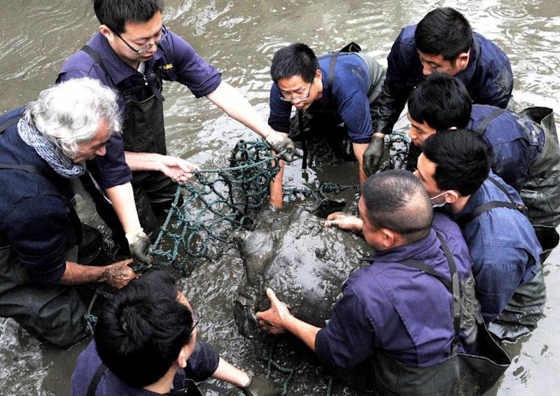 Researchers lift a female Yangtze giant softshell turtle out of the water at a zoo in Suzhou in eastern China's Jiangsu province (Picture: AP)