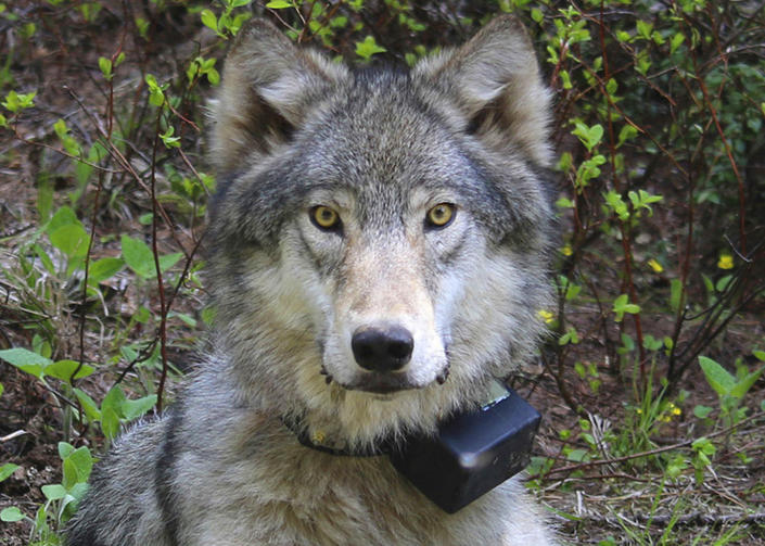FILE - This March 13, 2014 file photo provided by the Oregon Department of Fish and Wildlife shows a female wolf from the Minam pack outside La Grande, Ore., after it was fitted with a tracking collar. A federal proposal to take the gray wolf off the endangered species list has divided states in the West, and has even exposed conflicting views among top officials in Oregon. The governor said Thursday, May 16, 2019, it's critically important that range-wide recovery efforts for wolves across the West be maintained. (Oregon Department of Fish and Wildlife via AP, File)