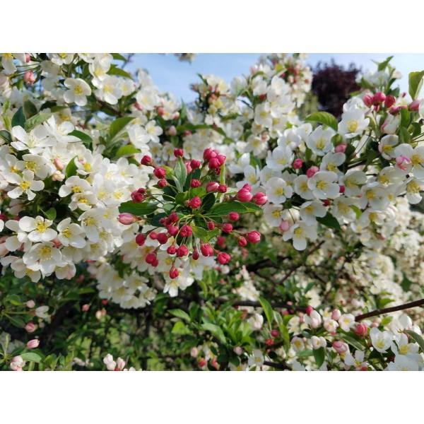 """<p><strong>Online Orchards</strong></p><p>homedepot.com</p><p><strong>$33.98</strong></p><p><a href=""""https://go.redirectingat.com?id=74968X1596630&url=https%3A%2F%2Fwww.homedepot.com%2Fp%2FOnline-Orchards-Dolgo-Flowering-Crabapple-Tree-Bare-Root-FLCA004%2F307869996&sref=http%3A%2F%2Fwww.housebeautiful.com%2Flifestyle%2Fgardening%2Fg28467916%2Fhow-to-attract-birds-birdscaping-garden%2F"""" target=""""_blank"""">BUY NOW</a></p><p>""""Crabapples are small-statured ornamental trees know for its fruit,"""" author Jan Johnson says. """"The varieties that have persistent small 'crabapples,' less than three-fourths inch in diameter, can feed birds into the winter. Some bird-friendly cultivars include Sargent, Red Splendor, and Donald Wyman.""""</p>"""