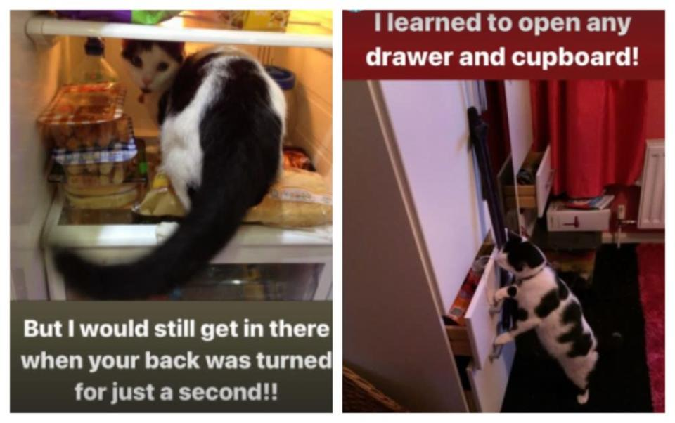 Keith's adventures in raiding the fridge and cupboards made his owner install locks. ― Pictures via instagram/keith_the_cat_cow