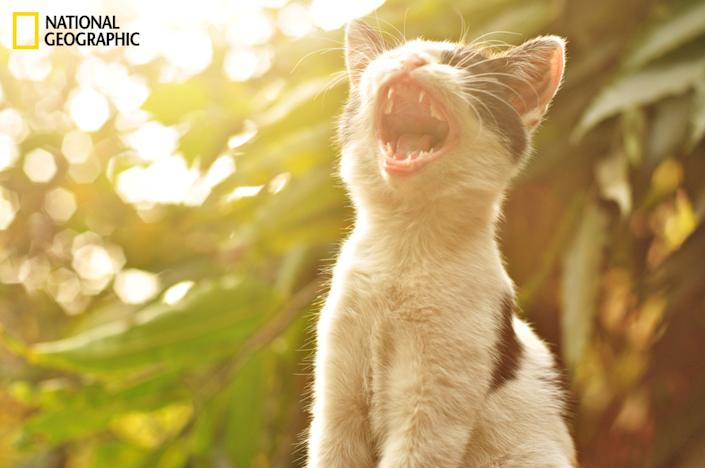 """Kitten wants everything at once. This was an accidental shot of a stray kitten sitting on a wall with its back to the evening sun. It wasn't yawning as we might think. It kept its mouth open for quite sometime. (Photo and caption Courtesy Marcus Sam / National Geographic Your Shot) <br> <br> <a href=""""http://ngm.nationalgeographic.com/your-shot/weekly-wrapper"""" rel=""""nofollow noopener"""" target=""""_blank"""" data-ylk=""""slk:Click here"""" class=""""link rapid-noclick-resp"""">Click here</a> for more photos from National Geographic Your Shot."""