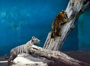 Tigers are classified as 'endangered' by the International Union for Conservation of Nature