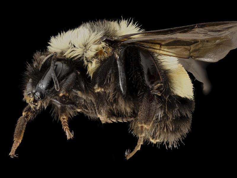 Donald Trump is facing legal action over the rusty-patched bumblebee: USGS Bee Inventory and Monitoring Lab, Beltsville, Maryland