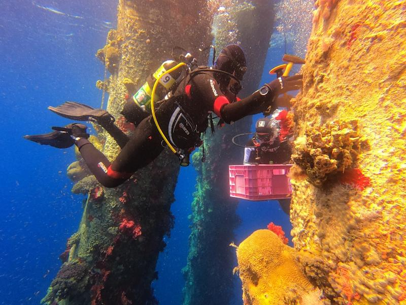 Marine ecologists are removing Red Sea coral and moving them to another site to avoid them perishing during maintenance works on a jetty (AFP Photo/MENAHEM KAHANA)