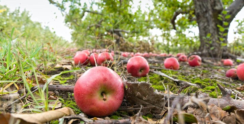 """<span class=""""caption"""">Gravity feels like it's pulling everything toward Earth, but why?</span> <span class=""""attribution""""><a class=""""link rapid-noclick-resp"""" href=""""https://www.gettyimages.com/detail/photo/fallen-apples-on-ground-in-orchard-royalty-free-image/184862304?adppopup=true"""" rel=""""nofollow noopener"""" target=""""_blank"""" data-ylk=""""slk:AdventurePhoto/E+ via WikimediaCommons"""">AdventurePhoto/E+ via WikimediaCommons</a></span>"""