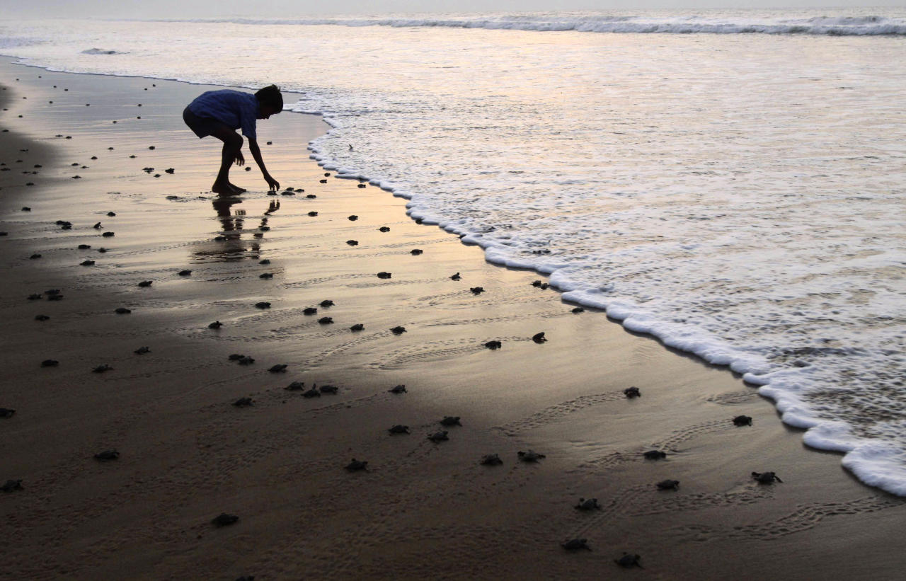 A boy helps a newly hatched baby Olive Ridley turtle enter the sea, at the Rushikulya river mouth beach in Ganjam district, about 140 kilometers away from the eastern Indian city Bhubaneshwar, India, Tuesday, April 26, 2011. Millions of baby Olive Ridley turtles are hatching and entering the Bay of Bengal sea in the coast of Orissa since the past few days.