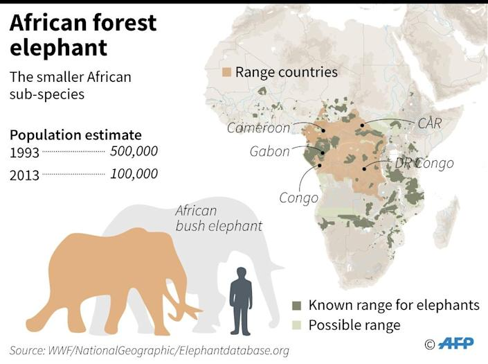 African forest elephant (AFP Photo/Laurence Chu)