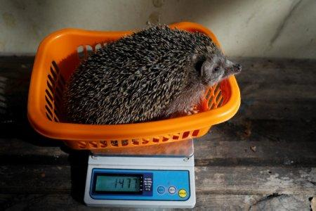 Sherman, the overweight hedgehog, sits on top of a scale displaying the weight of 1477 grams (3.26 lbs) at the Ramat Gan Safari Zoo, near Tel Aviv, Israel January 3, 2018. REUTERS/ Amir Cohen