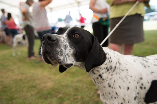 Numbers of the English Pointer have dropped to historic lows, leaving the classic pooch at risk of extinction. (The Dog Kennel Club)