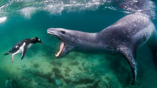 Photo Captures Penguin Swimming Into 'Jaws of Death'