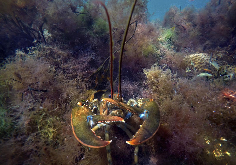 FILE - In this Sept. 10, 2018, file photo a lobster takes a defensive posture as it moves to hide below aquatic plants off the coast of Biddeford, Maine. A study published Tuesday, June 11, 2019 finds a warmer world may lose a billion tons of fish and other marine life by the end of the century. The international study used computer models to project that for every degree Celsius the world warms, the total weight of life in the oceans drop by 5%. (AP Photo/Robert F. Bukaty, File)