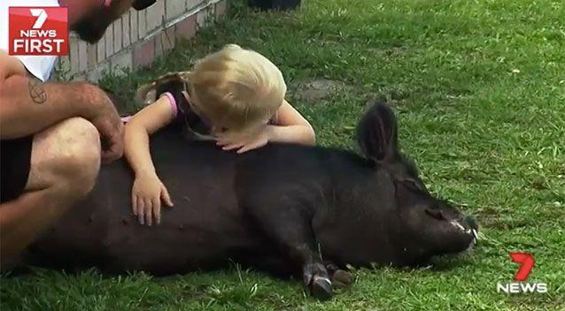 Shorty is a miniature pig, which means he is smaller than some of the neighbourhood dogs. Source: 7 News