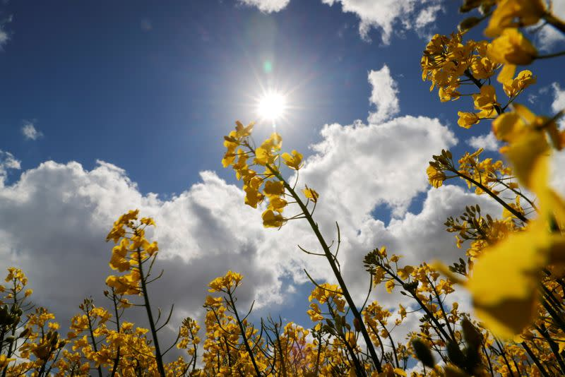 FILE PHOTO: The sun shines over a yellow rapeseed field in Baralle