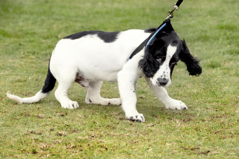 A Cocker Spaniel puppy pulling on a lead.