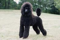 """<div class=""""caption-credit""""> Photo by: MARY BLOOM</div><div class=""""caption-title"""">Poodle</div>People <i>say</i> they don't shed and they're hypoallergenic. That's the 411 that most people get about this glamorous and brainy breed. Spoiler alert: <a href=""""http://www.vetstreet.com/dogs/poodle"""" rel=""""nofollow noopener"""" target=""""_blank"""" data-ylk=""""slk:Poodles"""" class=""""link rapid-noclick-resp"""">Poodles</a> <i>do</i> shed - with loose hairs becoming entangled with other hair if not brushed out - and they are <i>not</i> hypoallergenic. But they are adorable! That beautiful curly coat also requires visits to a professional groomer every six to eight weeks. During adolescence, the maturing coat must be brushed daily to prevent mats."""
